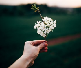 Hand holding fragile white flowers Stock Photo