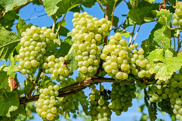 Harvest green grapes Stock Photo