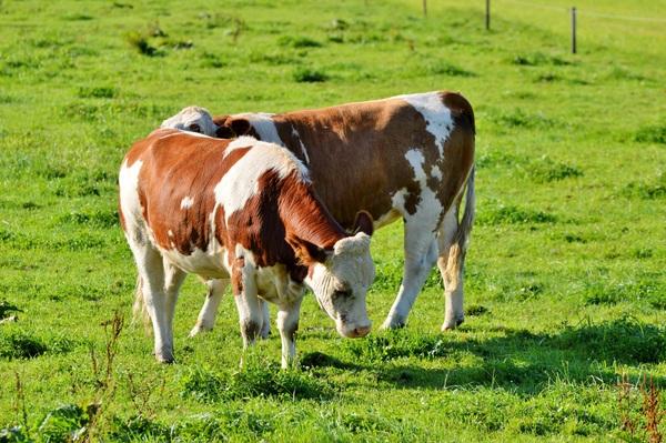 Leisurely cow Stock Photo