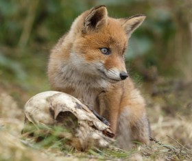 Little Fox Stock Photo 04