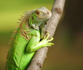 Lizard on a tree branch Stock Photo