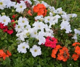 Multicolored petunia Stock Photo
