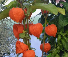 Orange small lantern flowers Stock Photo