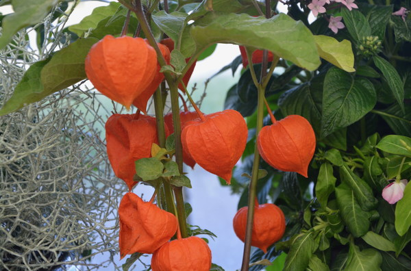 Orange small lantern flowers Stock Photo