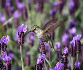 Purple flower field flying in the hummingbird Stock Photo