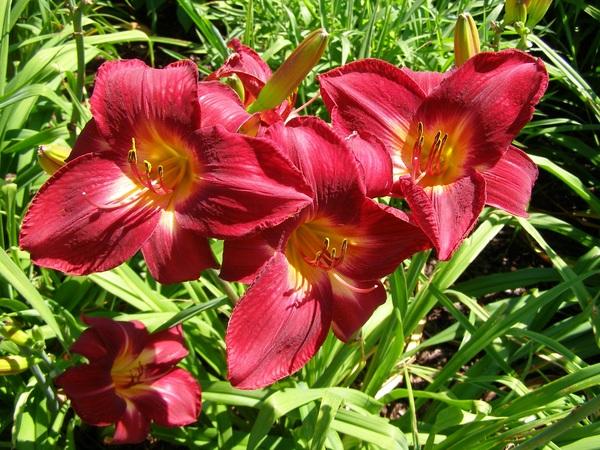 Red Hemerocallis middendorfii Stock Photo