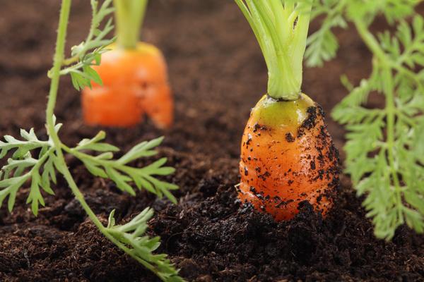 Ripe carrots Stock Photo