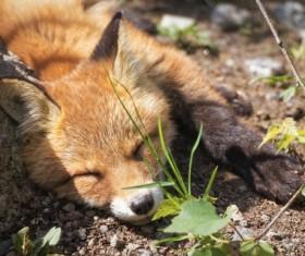 Sleeping little fox Stock Photo