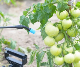 Spray pesticides with tomatoes Stock Photo