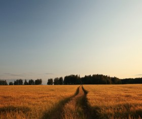 Sunset under the golden wheat field Stock Photo