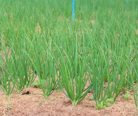 The green onions in the farmland Stock Photo
