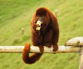 The red haired ape eats food Stock Photo