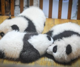 Three cute panda baby Stock Photo