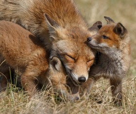 Two fox cubs and mother fox play Stock Photo