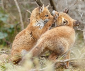Two little fox playing Stock Photo 01