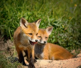 Two little fox playing Stock Photo 02