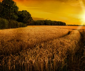 Waiting for the harvest of wheat fields Stock Photo