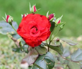 delicate and charming red rose Stock Photo