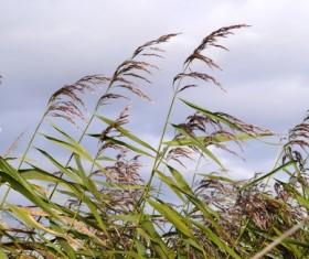 Autumn reed Stock Photo