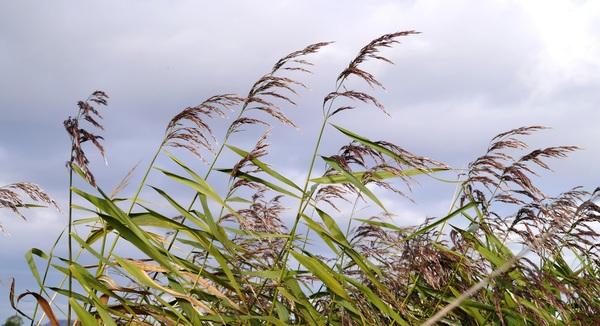 Autumn reed Stock Photo