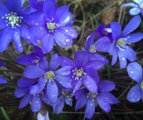 Blue anemone flowers Stock Photo