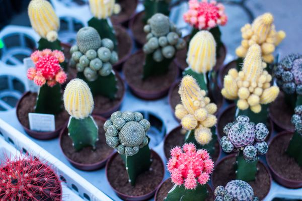 Cactus potted plants Stock Photo