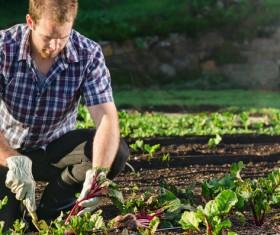 Farmers harvest small radish Stock Photo