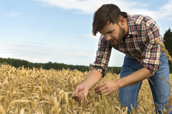 Farmers watch wheat Stock Photo