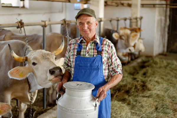 Farmers who collect milk Stock Photo