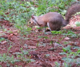Foraging wild squirrels Stock Photo