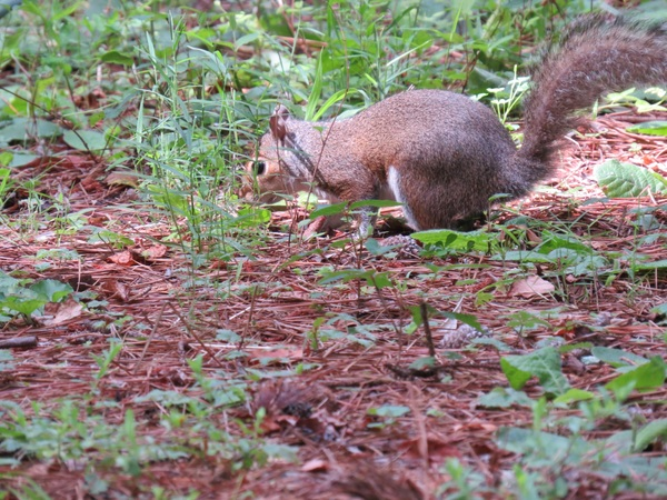 Foraging wild squirrels Stock Photo