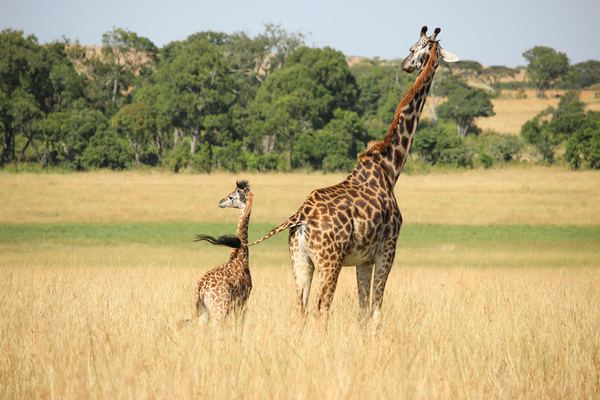 Giraffe mother and son on the prairie Stock Photo