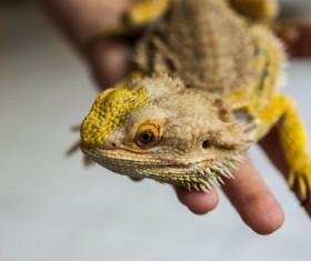Golden lizard Stock Photo