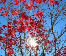 Late autumn red maple leaves Stock Photo