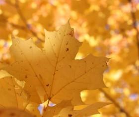 Late autumn yellow maple leaves Stock Photo