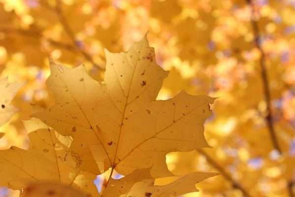 Late autumn yellow maple leaves Stock Photo