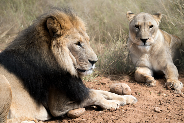 Lying on the ground to rest the lion and lioness Stock Photo