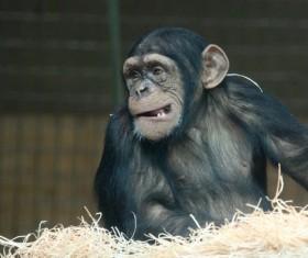 Monkey making faces Stock Photo
