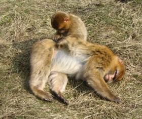 Monkey pets care Stock Photo