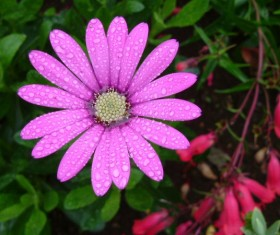 Pink daisy flower after the rain Stock Photo