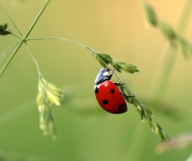 Seven Star Ladybug Macro Photography Stock Photo