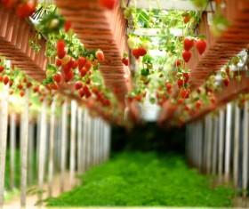 Strawberry Sightseeing Garden Stock Photo