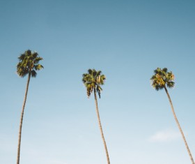 Tall areca trees under blue sky Stock Photo