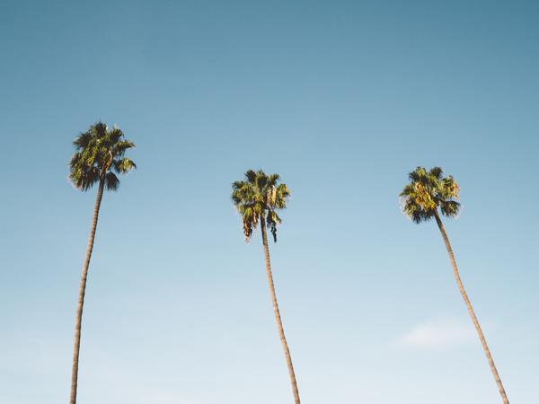 Tall areca trees under blue sky Stock Photo