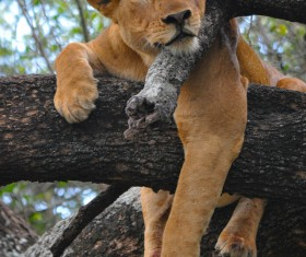 The lion lying on the tree resting Stock Photo