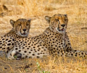 Two African leopards Stock Photo