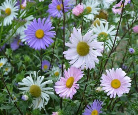 Various colors of small daisy flowers Stock Photo