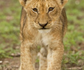 Walking little lion Stock Photo