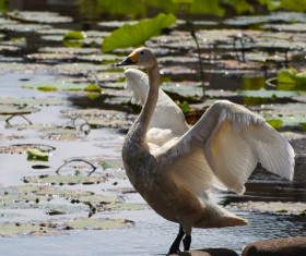 small white goose in the pond Stock Photo