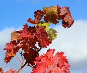 Autumn red maple leaf Stock Photo